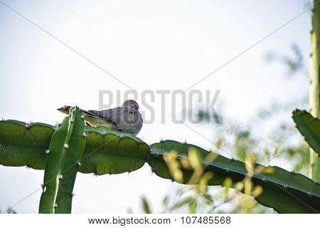 Pigeon resting on cactus branch