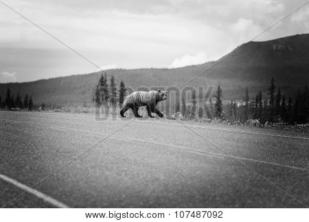 Grizzly bear walking across a  highway, Canada