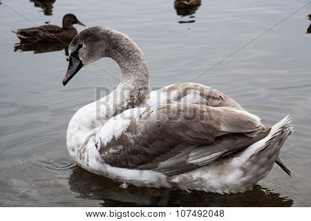 Young Gray Swan On A Blue Lake