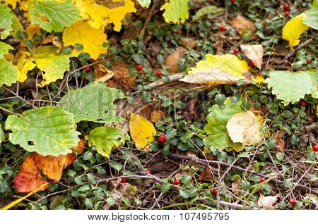 Partridge Berry (mitchella)