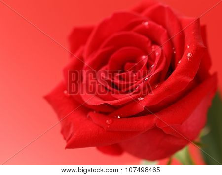 red rose flower with dew drops, soft focus