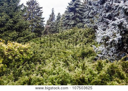 Landscape With Blue Spruces And Juniper Bushes