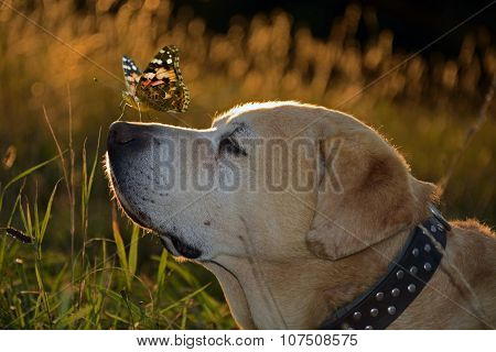 Labrador Retriver And A Butterfly