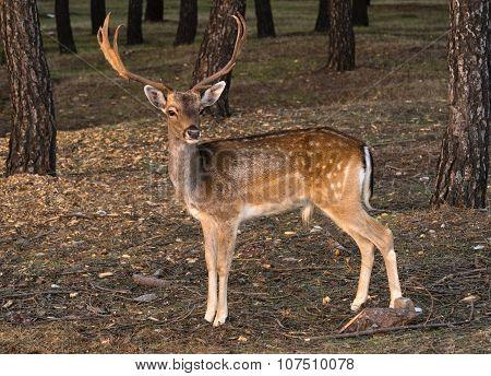 Fallow-deer Looking Straight Ahead