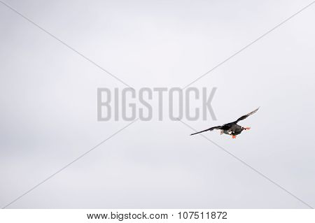 Flying Atlantic Puffin, Fratercula Arctica