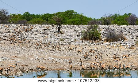 Herd Of Springbok Go To Drink