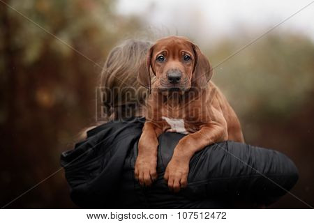 Beautiful dog rhodesian ridgeback