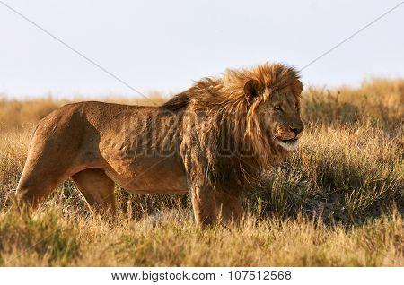 A Lion  In The Savannah