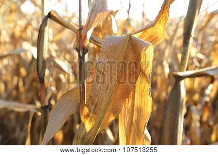 Cornfield in october.