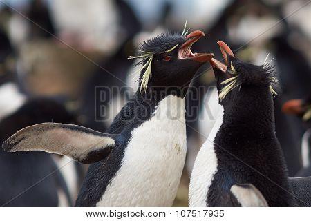 Rockhopper Penguins Courting