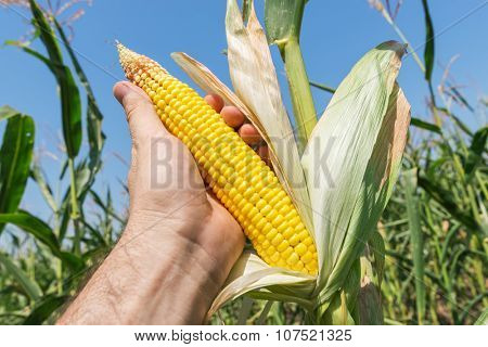 golden maize in hand on field