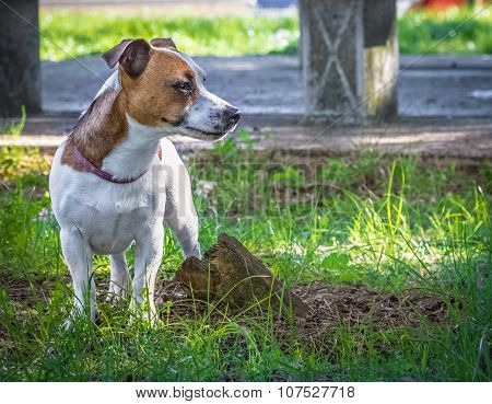 Jack Russell Terrier Puppy In The Green Grass, Lovely Small Size Dog