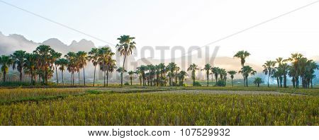 Sunset on palm tree range among paddy rice field