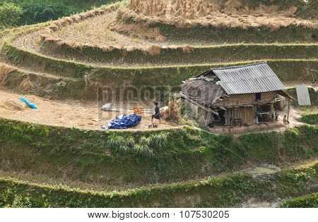 Asian Hmong minority farmer harvesting rice on paddy terraced field