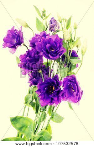 Advantage purple flower eustoma ,lisianthus,  Gentianaceae