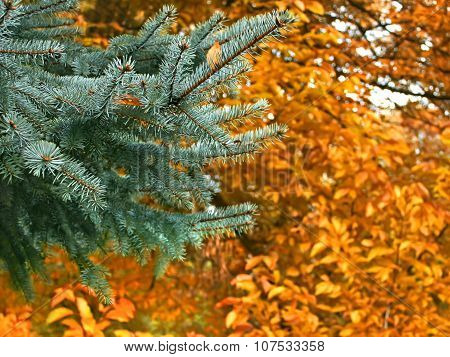 Branch Of Blue Spruce In Autumn