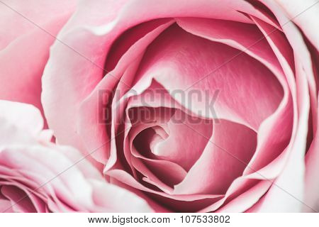 Pink Rose Flower with shallow depth of field and focus the center of rose flower