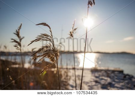 Tall Grass By The Fjord In Winter Sun