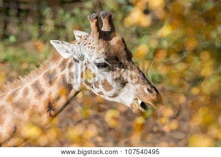Single Giraffe Feeding