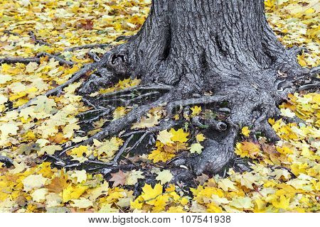 Old Tree Roots Covered With Yellow Maple Leaves