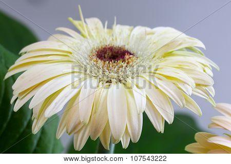 White Flower Of Gerbera