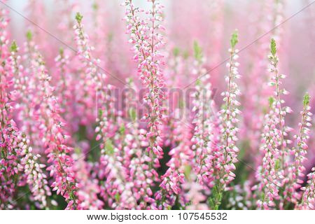 Field of heather flowers. Small violet, pink plants. Soft focus.
