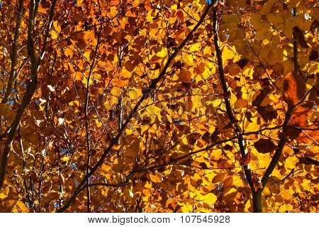Beautiful autumn orange tree leaves in forest lightened by sun