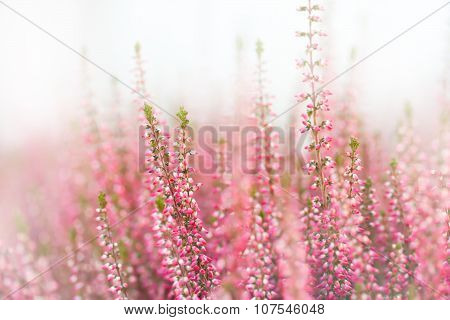 Classic heather flowers. Small violet, pink, lilac aromatic herbs. white background. Soft focus.