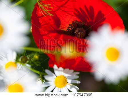 Closeup Of The Blooming Poppies And Chamomiles