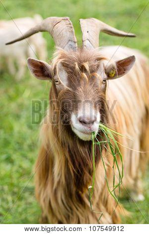Long-horned Goat Eating Grass