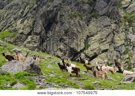 Wild Goats In The Mountains