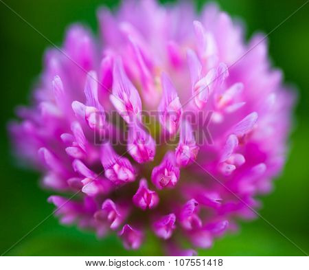Close Up Of The Pink Clover Flower