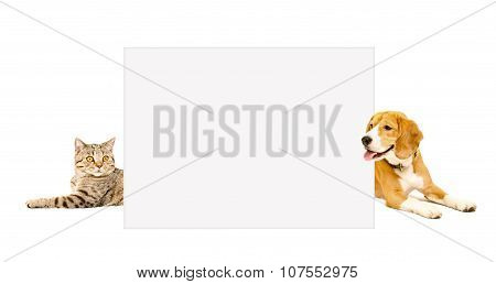 Cat Scottish Straight and Beagle dog peeking  from behind banner