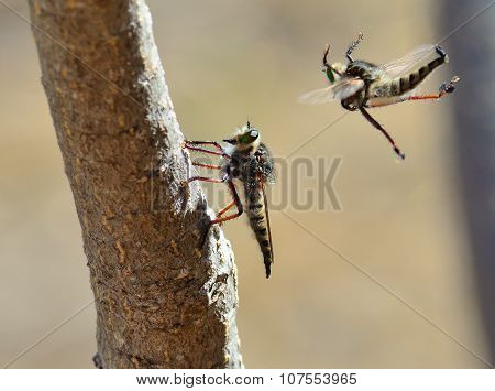 Courtship ritual of robber fly