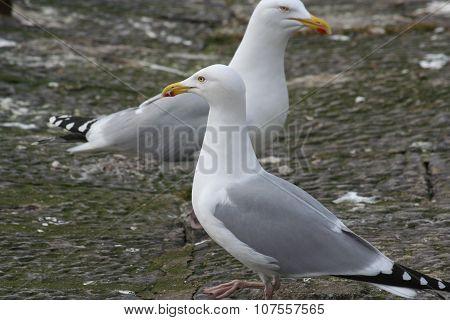 Two herring gulls standing