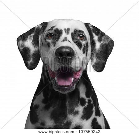 Portrait Of A Black And White Spotted Dalmatian