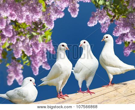 Four White Pigeons On Perch With Flowering Lilac Tree
