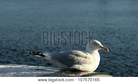 Herring gull in seated position
