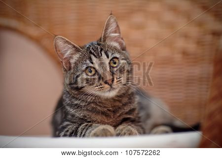 Portrait Of A Striped Kitten On A Wicker Chair