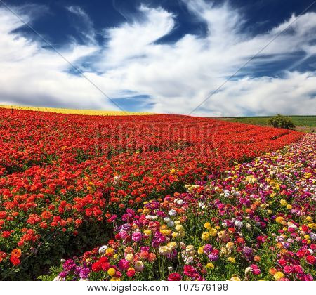 Spring storm over a field of buttercups /ranunculus/.  The flowers are brightly colored stripes and ready to harvest