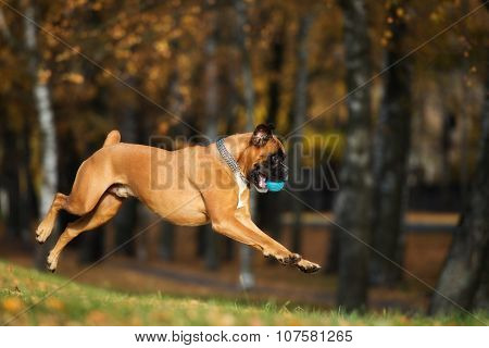 red german boxer dog outdoors
