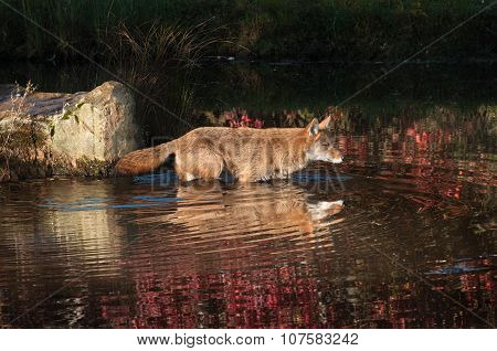 Coyote (canis Latrans) Wades Into Water