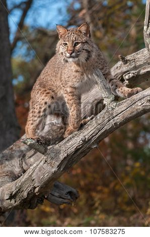 Bobcat (lynx Rufus) Stares Down From Branches