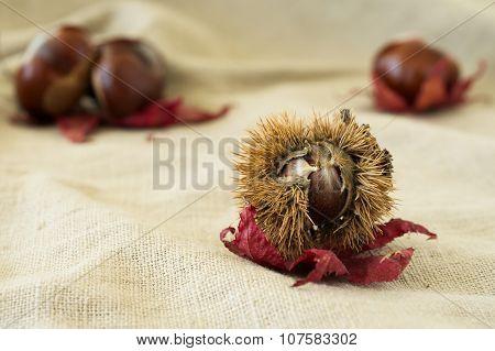 Chestnut Burr On Red Leaf Close-up On Beige Cloth