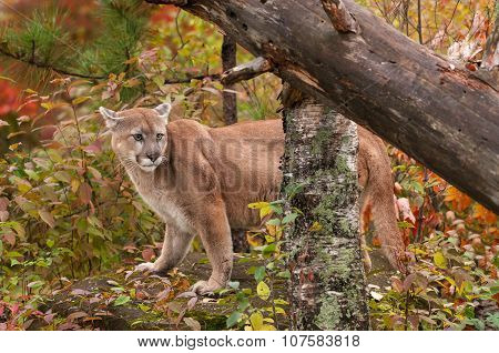 Adult Male Cougar (puma Concolor) On Rock With Ears Back