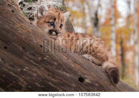 Female Cougar Kitten (puma Concolor) In Branches