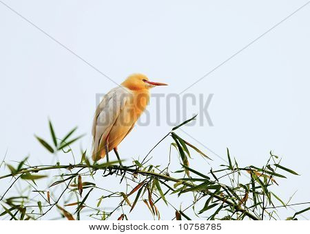 White Bubulcus Ibis Sitting On Bamboo Tree, Pokhara, Nepal