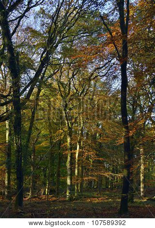 Autumn Colours In Forest Of Dean