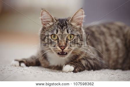 Portrait Of The Surprised Domestic Cat Of A Striped Color