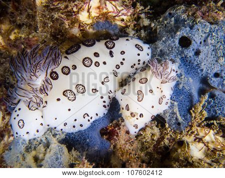 Mating Nudibranch Scenes